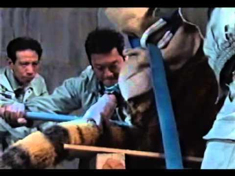 【獣欲ドラマ】 トラの穴にディルドを挿入して強制搾乳