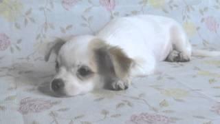 6月15日生まれのチワワとマルチーズのミックス犬(チワマル)の女の子で...