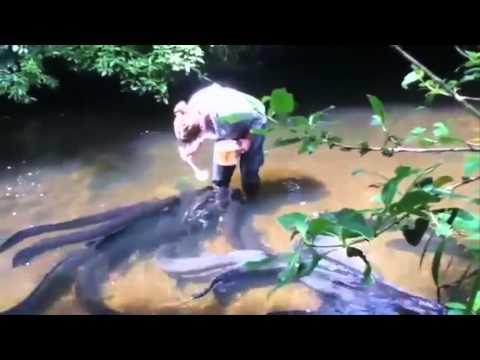 UNIK !!! Sungai Ini Hanya Di Huni Oleh Ikan SIDAT BERUKURAN RAKSASA