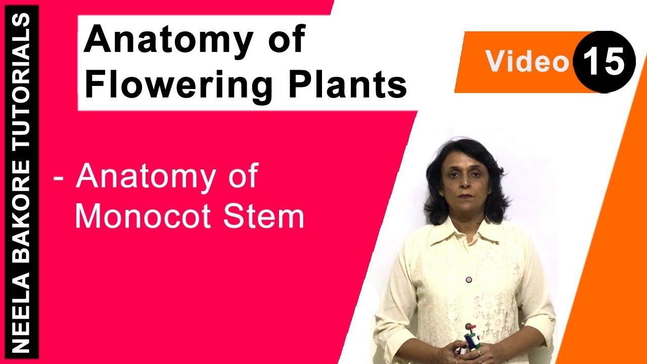 Anatomy of Flowering Plants - Anatomy of Monocot Stem - YouTube