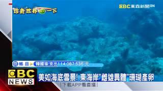 最新》美如海底雪景!東海岸「雌雄異體」珊瑚產卵