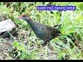 Suara Asli Burung Sintar  Mp3 - Mp4 Download