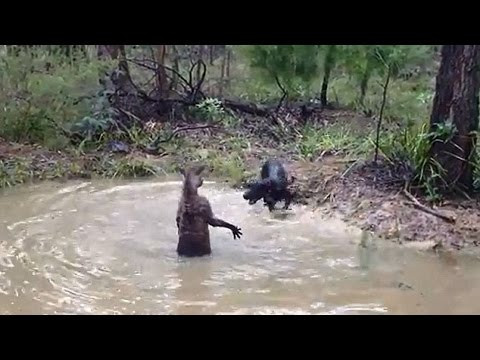 Pitbull vs kangaroo. Dogs attack a kangaroo in water