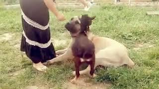 Собаки и рысь в аренду -  8965 380-13-11