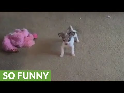 Fearless Chihuahua puppy plays with huge Mastiff mix