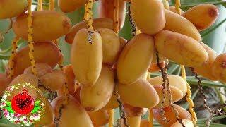 Это, вероятно, самый здоровый в мире плод, который может вылечить многие болезни!