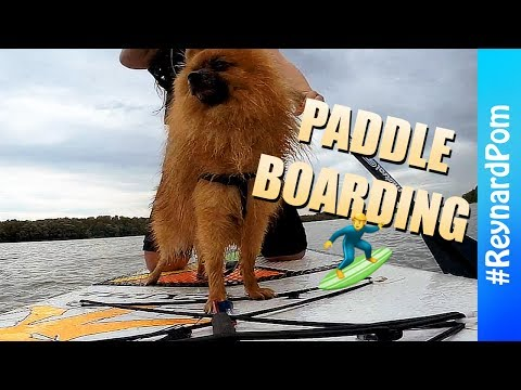 SURFING DOGS 🏄🏽 First Ever Paddle Boarding