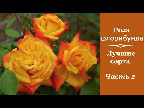 ❀ Роза флорибунда: лучшие сорта. Часть 2