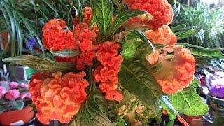 видео Целозия (Сеlоsia ericata L. Var. hybrida hort.)