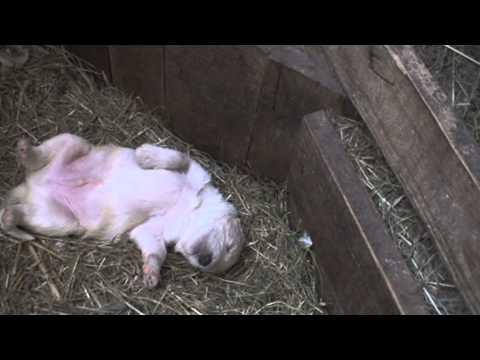 Щенки Южнорусской овчарки в возрасте 2 недели