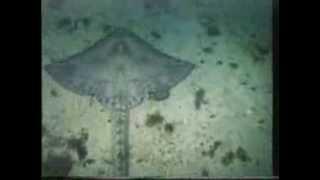 Sting Ray in Norway - Raja brachyura