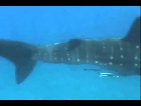 Offshore Africa Port St. Johns - Whale Sharks