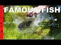 World's Most Famous Fish SHAMU!
