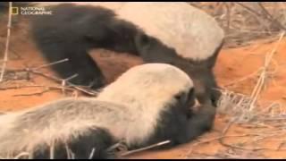 Honey Badger Narrates: The Precious Nastyass Baby Honey Badger Kit