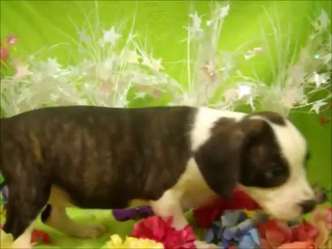 FEMALE BOGLE (BOSTON TERRIER X BEAGLE) PUPPY