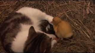 Мимимими. Кошка, котята и утята.