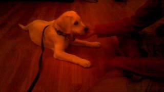 12 Week Labrador Puppy Tricks And Training