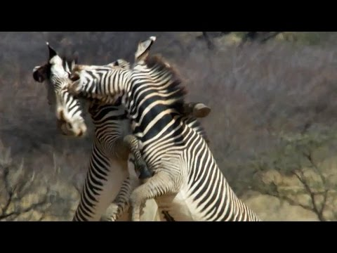 Epic Zebra Fight For Mate - Africa - BBC