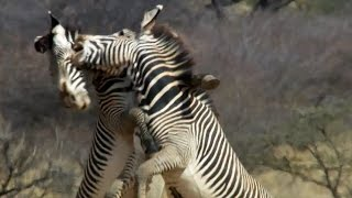 Epic Zebra Fight For Mate | Africa | BBC Earth