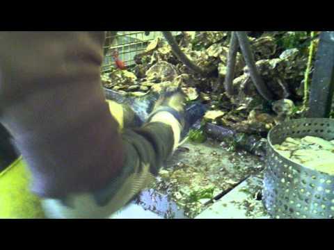 Taylor Shellfish Farms - Shelton, WA - Oyster Shucking