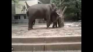Elefanten haben sex