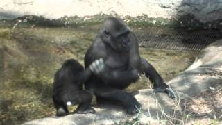Repeat youtube video Elder sister gorilla (4 years) to piggyback little sister (1 year old).妹(一歳)をおんぶするお姉さんゴリラ(四歳)。