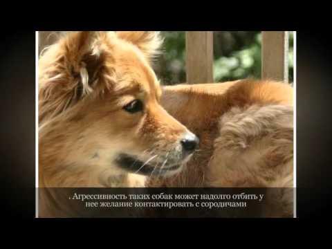 Карело финская лайка Средние породы собак