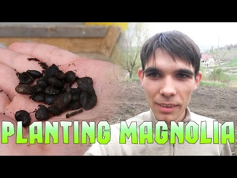 how to grow magnolia tree from seed