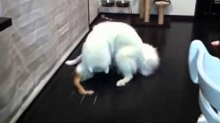こう見えて子犬サモのヒメさんと、少しだけ姉さんの猫ジュエルさんの、...