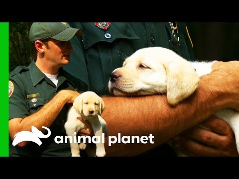 Labrador Retriever Puppy Becomes Officer's Canine Partner | North Woods Law