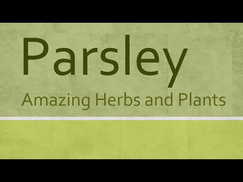 Parsley Amazing Herb - Health Benefits of Parsley - Amazing Herbs and Pllants