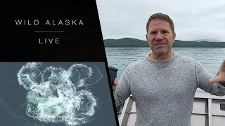 Excitement as black bears and humpback whales are caught live in action: Wild Alaska live - BBC One