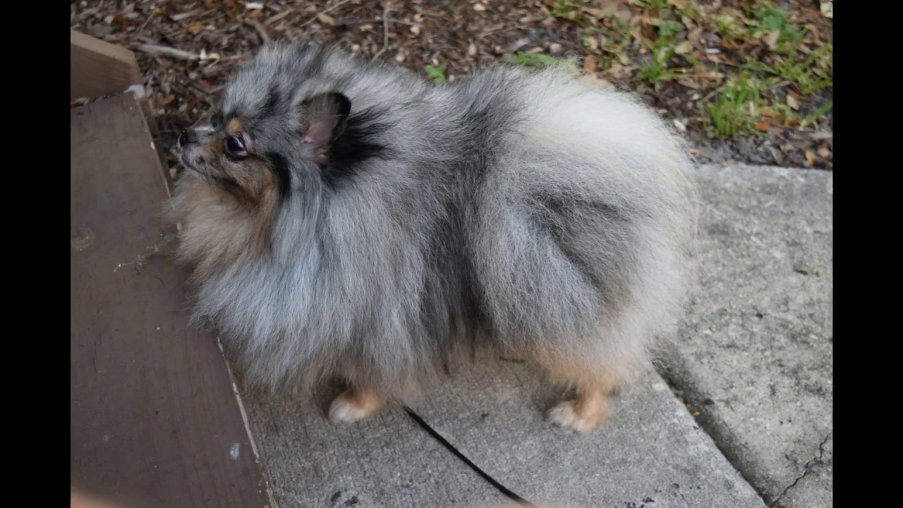 lavender pomeranian puppies for sale blue merle pomeranian puppy for sale youtube 8531