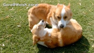 Corgis Part 2 / コーギー 20130514 Goro@welsh Corgi