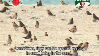 Nature and Life   Episode 69 Shore Birds
