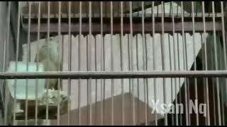 HD Audio Suara Kicau Burung Branjangan Parva Short