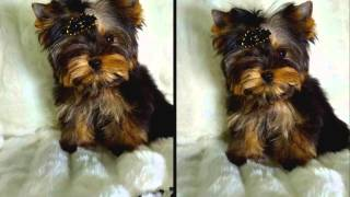 Yorkshire Terrier Micro Toy .mp4