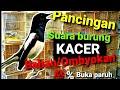 Masteran Kacer Bahan Ombyokan Suara Awal Buka Paruh  Mp3 - Mp4 Download