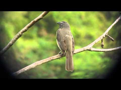Grayish Saltator   Saltator coerulescens   Minca, Santa Marta Mts