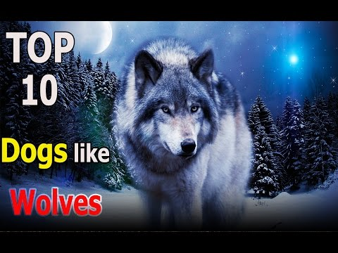 Top 10 dogs like wolves | Top 10 animals
