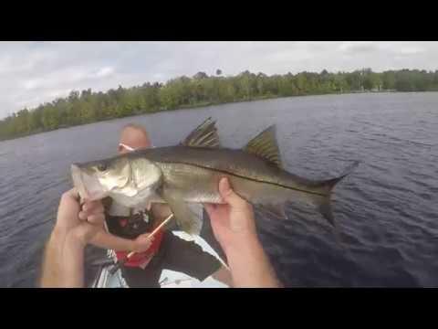 Snook And Big Bass While Fishing The Caloosahatchee River.