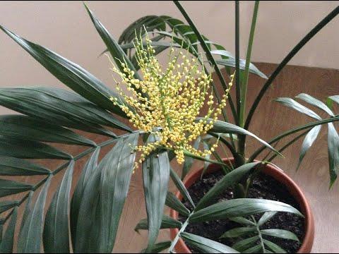 Хамедорея цветет
