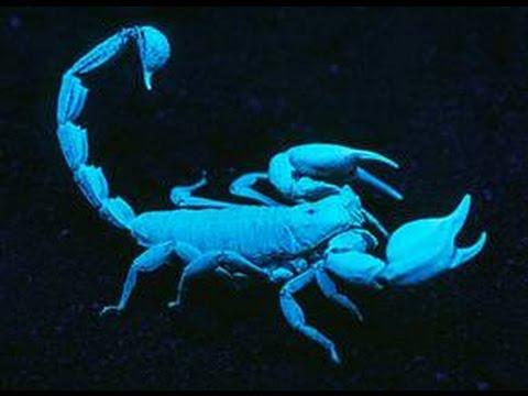 e9b89f6b5cb3 Emperor Scorpion under a Black Light - YouTube