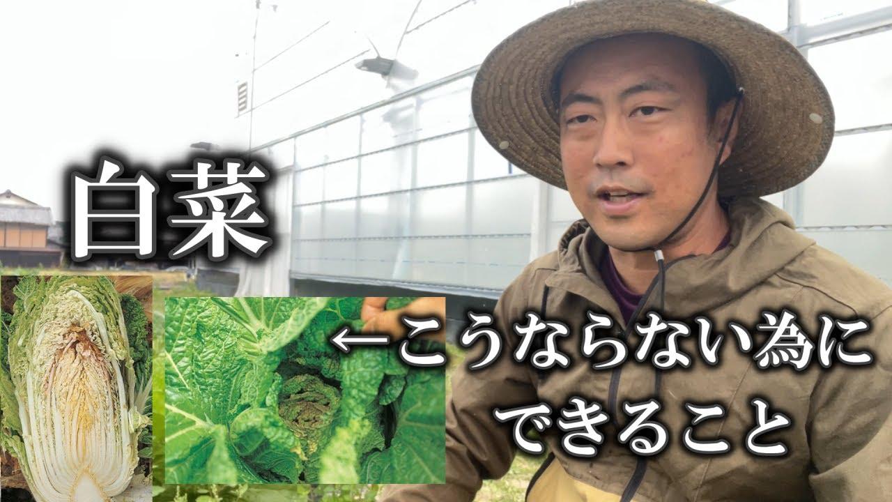 【白菜栽培】過去によくでてしまった症状です。