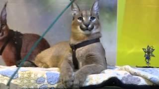 Каракал - это кошка-рысь
