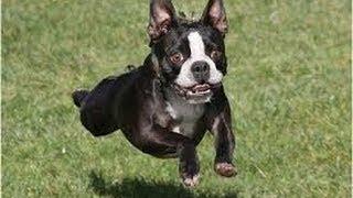 bouncing bean dog