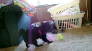 Pomeranian Chasing Her Tail