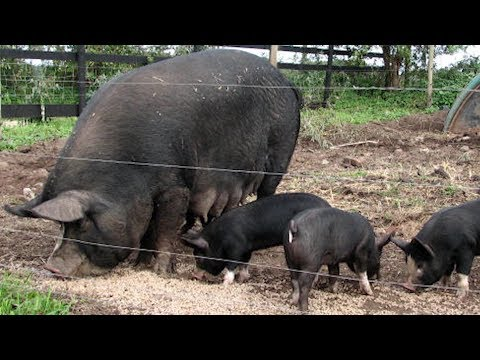 Berkshire Pigs | Kobe Beef Of Pork
