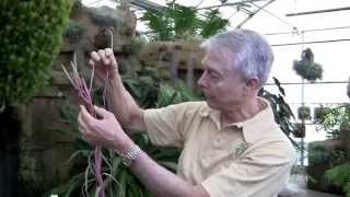Paul Isley - Rainforest Flora, Inc. - Tillandsia Hybrids Continued