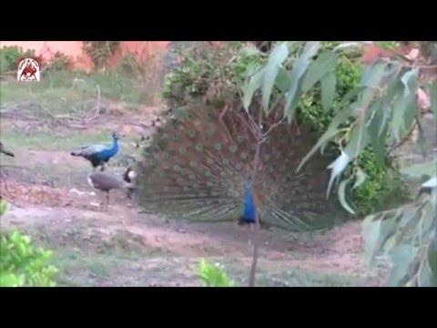 Dancing Peacock in Plot (बाड़े में मोर नाचता )